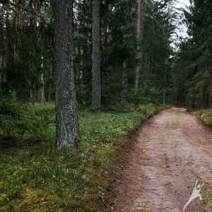Punios šilo ąžuolų alėja (8 km)
