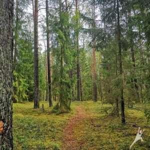 Dumsių giria, kur kopos randasi miške (11 km)