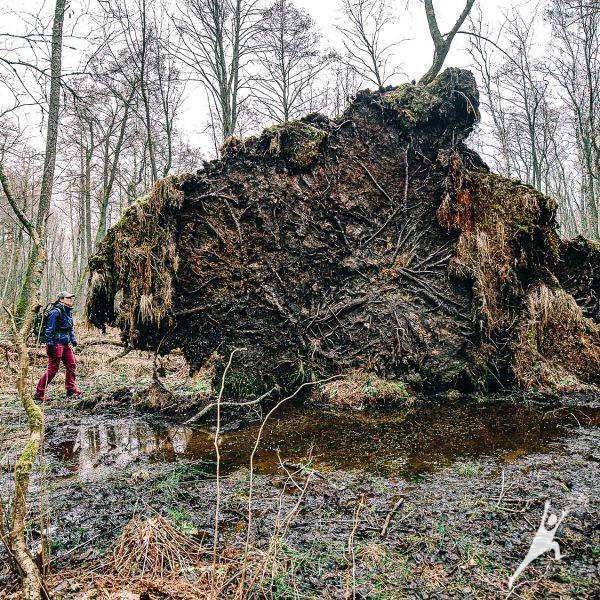 Pajūrio pelkėmis ir miškais link Kalotės ežero (9 km)